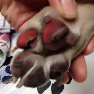 DOGS PAWS ON HOT SURFACES