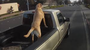 DOGS LOOSE IN THE BACK OF TRUCKS